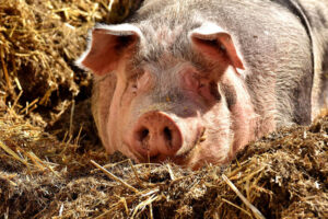 Bhutanese Farmers Feed Their Pigs Cannabis