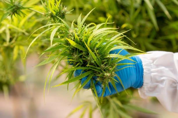 medical marijuana cancer